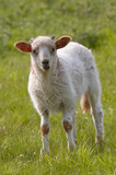 cute baby sheep on the grass poster