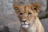curious lion cup poster