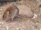 rat kangaroo poster