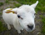 funny lamb poster