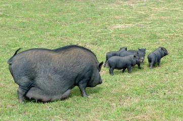 cochon chinois avec ses petits