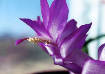 christmas cactus close up