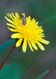young bee resting on yellow dandelion poster