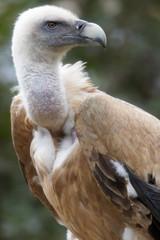 rotten vulture