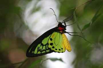 male birdwing butterfly 2
