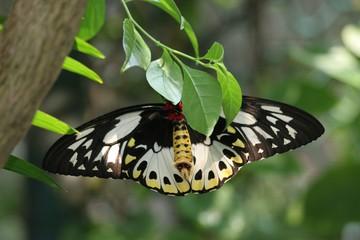 female giant birdwing butterfly