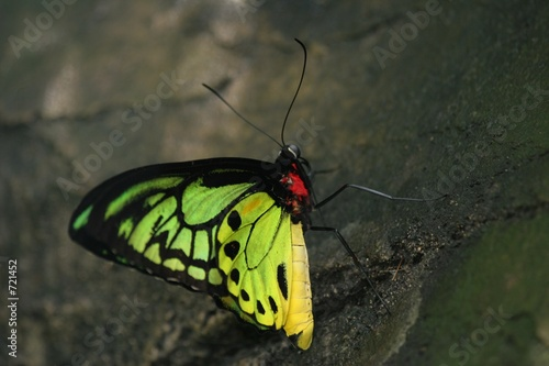 male birdwing at rest