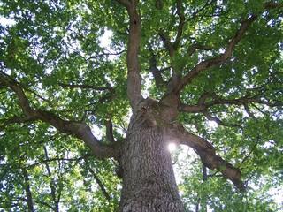 au pied du chêne
