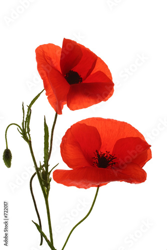 In de dag Poppy coquelicot,