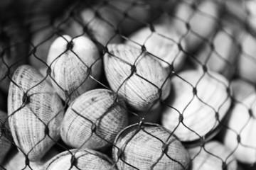 steamer clams