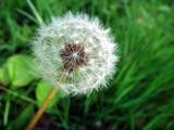 dandelion against a green background poster