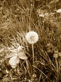 dandelion in grass poster