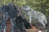 Fototapeta ssak - psów - Dziki Ssak