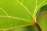 grape leaf - 724627