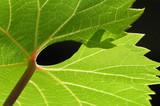 grape leaf - 724631