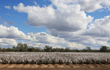 cotton crop poster