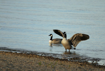 geese flapping