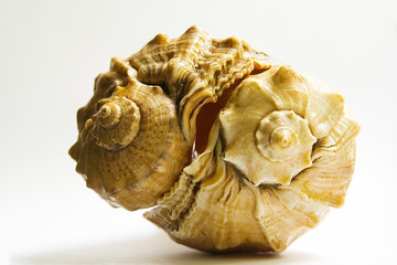 two sea shell - 5