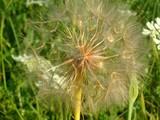 golden dandelion poster