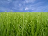 hierba verde sobre cielo azul poster