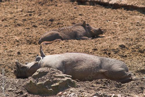 poster of happy pigs sleeping in mud