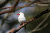white bird with red beak poster
