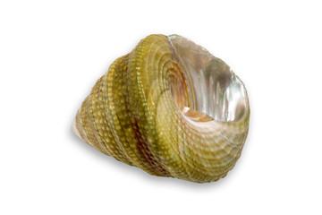 small seashell vi