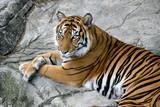 tigers gaze poster
