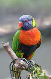 rainbow lorikeet perched poster