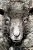 sheep portrait poster