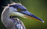 great blue heron head shot poster