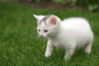 little kitten carefully taking first steps