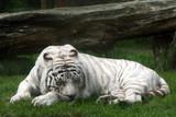 white tiger (panthera tigris) poster