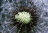 macro of dandelion seeds poster