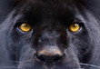 Quadro the eyes of a  black panther