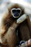 thailand: monkey poster