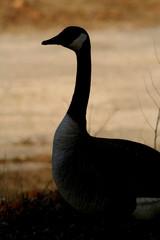 canadian goose 4