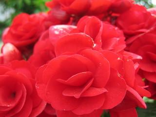 rote begonien