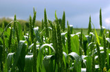 spring cornfield after rain poster