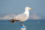 seagull on post poster