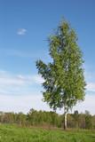 lone birch poster