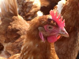 hühner (1)