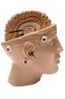 human brain (side view)