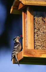 woodpecker at bird feeder