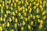 yellow tulips flower-bed in keukenhoff, netherlands poster
