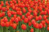 red-yellow tulips in keukenhoff, netherlands poster