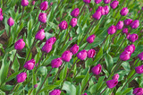 lilac tulips in keukenhoff, netherlands poster