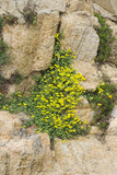 yellow wildflowers on the rocks poster
