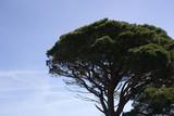 umbrella pine and blue sky poster