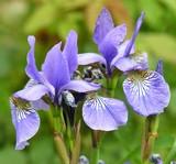 violet irises poster